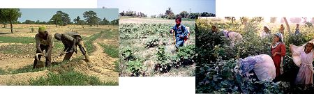 Picture 1: two man doing fieldwork, picture 2: little boy spraying cotton without protection, picture 3: women and girls picking cotton